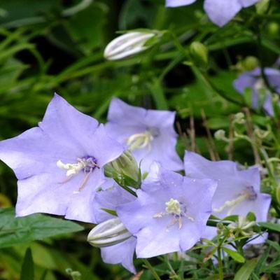 Campanula persicifolia 'Cornish Mist'