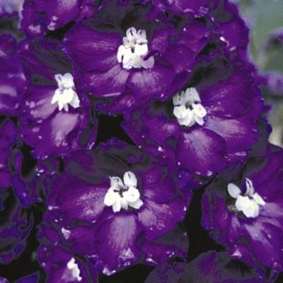 Delphinum 'Purple Passion' (New Millenium Series)