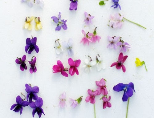 Violets – Botanical Style Photographs