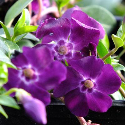 Vinca minor 'Atropurpurea' ('Purpurea')