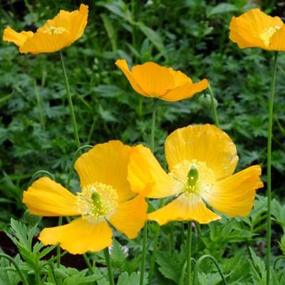 Mecanopsis cambrica var. aurantiaca