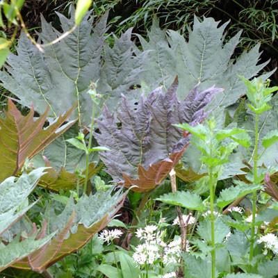 Rheum palmatum var tanguticum