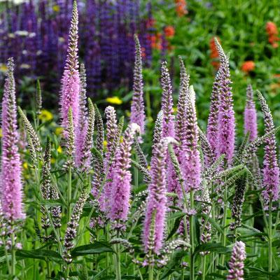 Veronica longifolia 'Charming Pink'