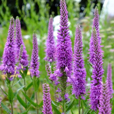 Veronica Purpleicious Harmony