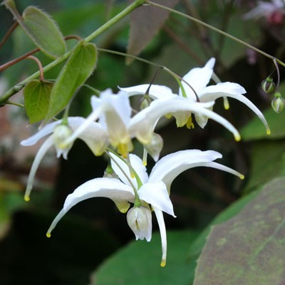 Epimedium acuminatum - white form