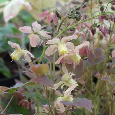 Epimedium x versicolor 'Cupreum'