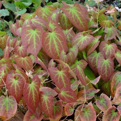 Epimedium x versicolor 'Discolor' (Versicolor)