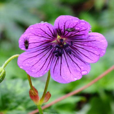 Geranium wallichianum 'Sylvia's Surprise'