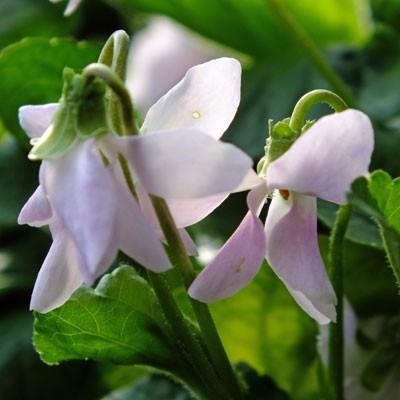 Viola 'Cordelia' ( violet )